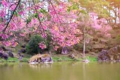 Paisaje de la flor rosada de la flor de cerezo o de la flor de Sakura con el lago en Khun Wang Royal Project en Chiang Mai, Taila Fotografía de archivo