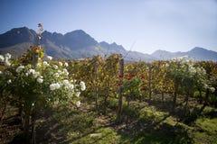 Paisaje de la granja del vino con las montañas y los viñedos Foto de archivo libre de regalías