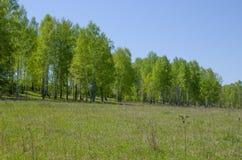 Paisaje de la madera de abedul en mayo Foto de archivo