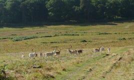 Paisaje de la manada de ciervos fotos de archivo libres de regalías