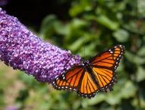 Paisaje de la mariposa de monarca imagen de archivo libre de regalías