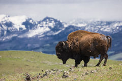 Paisaje de la montaña con el búfalo en horizonte Fotos de archivo libres de regalías