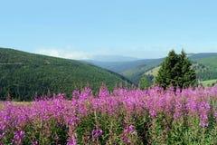 Paisaje de la montaña con el fireweed Fotos de archivo libres de regalías