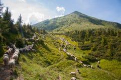 Paisaje de la montaña con las ovejas en los Cárpatos Foto de archivo