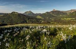 Paisaje de la montaña con los campos de narcisos en primero plano imagen de archivo