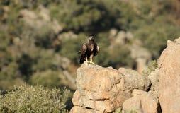Paisaje de la montaña y del águila de oro Imagenes de archivo