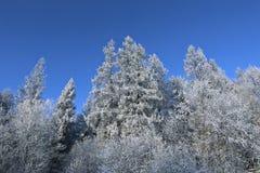 Paisaje de la picea y del abedul nevados del bosque Fotos de archivo
