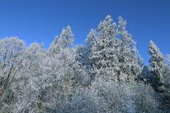 Paisaje de la picea y del abedul nevados del bosque Fotos de archivo libres de regalías