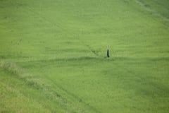 Paisaje de la planta de arroz verde del campo fotos de archivo