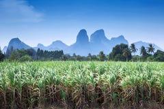 Paisaje de la plantación de la caña de azúcar Fotografía de archivo