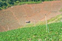 Paisaje de la plantación colgante de la fresa imagen de archivo libre de regalías