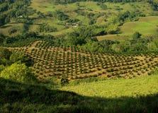 Paisaje de la plantación de café Foto de archivo