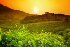 Paisaje de la plantación de té Imagenes de archivo