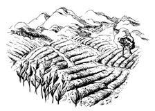Paisaje de la plantación de té
