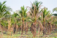 paisaje de la plantación de la palma de coco en país tropical Fotografía de archivo