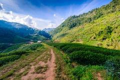 Paisaje de la plantación de té 2000 en Doi Ang Khang Foto de archivo