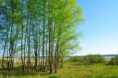 Paisaje de la primavera - bosque del abedul en el lado del río en día soleado agradable de la primavera Fotos de archivo