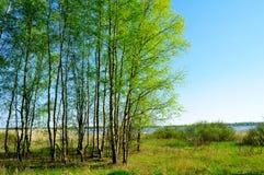 Paisaje de la primavera - bosque del abedul en el lado del río en la primavera agradable Imágenes de archivo libres de regalías