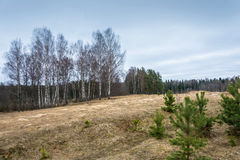 Paisaje de la primavera con los árboles de abedul y los pinos jovenes Imagenes de archivo