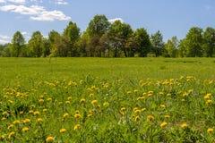 Paisaje de la primavera con los árboles en campo de los dientes de león Fotos de archivo libres de regalías