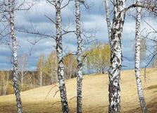 Paisaje de la primavera con los troncos de árbol de abedul blanco en primero plano Imagen de archivo libre de regalías