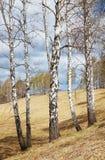 Paisaje de la primavera con los troncos de árbol de abedul en primero plano en día soleado Imagen de archivo