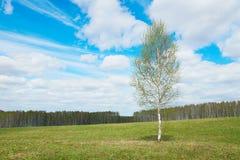 Paisaje de la primavera con un árbol de abedul joven entre campo ancho Fotos de archivo
