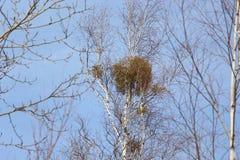 Paisaje de la primavera/coronas de abedules con el muérdago contra el cielo azul/ Fotos de archivo