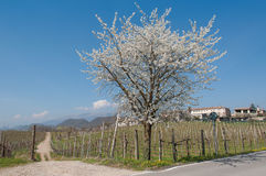 Paisaje de la primavera en colinas del viñedo del prosecco Imagenes de archivo