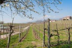 Paisaje de la primavera en colinas del viñedo del prosecco Imagen de archivo libre de regalías