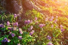 Paisaje de la primavera - flores de color de malva florecientes del halleri del Corydalis debajo del árbol Fotografía de archivo libre de regalías