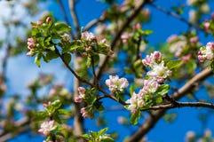 Paisaje de la primavera, flores del manzano Floración hermosa de la primavera Fotos de archivo