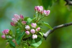 Paisaje de la primavera, flores del manzano Floración hermosa de la primavera Fotos de archivo libres de regalías