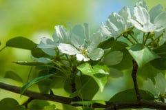 Paisaje de la primavera, flores del manzano Floración hermosa de la primavera Imagenes de archivo