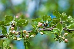 Paisaje de la primavera, flores del manzano Floración hermosa de la primavera Imagen de archivo