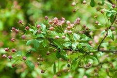 Paisaje de la primavera, flores del manzano Floración hermosa de la primavera Imagen de archivo libre de regalías