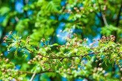 Paisaje de la primavera, flores del manzano Floración hermosa de la primavera Fotografía de archivo