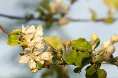 Paisaje de la primavera, flores del manzano Floración hermosa de la primavera Fotografía de archivo libre de regalías