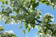 Paisaje de la primavera, flores del manzano Floración hermosa de la primavera Imágenes de archivo libres de regalías