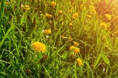 Paisaje de la primavera - flores florecientes del diente de león debajo del árbol en el bosque de la primavera Imágenes de archivo libres de regalías
