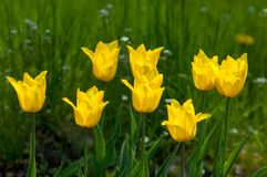 Paisaje de la primavera, tulipanes en un macizo de flores de la ciudad Tulipán en th foto de archivo libre de regalías