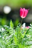 Paisaje de la primavera, tulipanes en un macizo de flores de la ciudad Tulipán en th imágenes de archivo libres de regalías