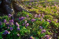 Paisaje de la puesta del sol de la primavera - flores de color de malva florecientes del halleri del Corydalis debajo del árbol Fotografía de archivo libre de regalías