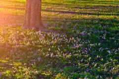 Paisaje de la puesta del sol del bosque - florezca la alfombra del halleri floreciente del Corydalis Foto de archivo libre de regalías