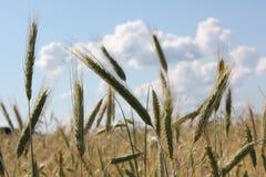 Paisaje de la sol del resplandor de los rayos de sol del campo de trigo Imagenes de archivo