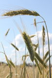 Paisaje de la sol del resplandor de los rayos de sol del campo de trigo Foto de archivo