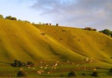 Paisaje de la vaca Imagen de archivo libre de regalías