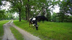 Paisaje de la vaca Imágenes de archivo libres de regalías