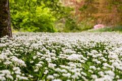 Paisaje de las flores blancas del ajo salvaje Foto de archivo
