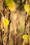 Paisaje de las habas amarillas Fotos de archivo libres de regalías